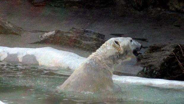 Matemos al último oso polar
